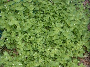 "chickweed or ""la pamplina""  picture from veggiegardeningtips.com"